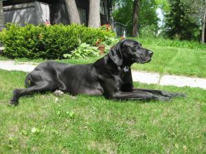 dog black2