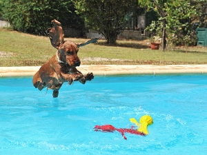 jumping cocker spaniel